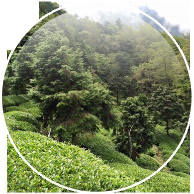 好茶、品茶、茶葉香味一縷茶香,百年繞樑