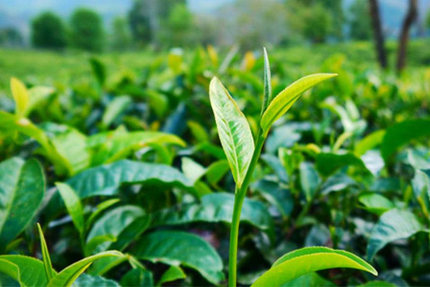 茶葉-茶葉種植-茶葉介紹-茶葉分享