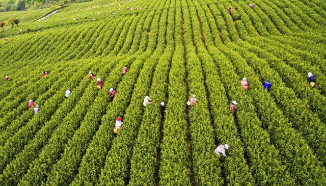 高山茶葉│高山茶│高山茶推薦質量最佳