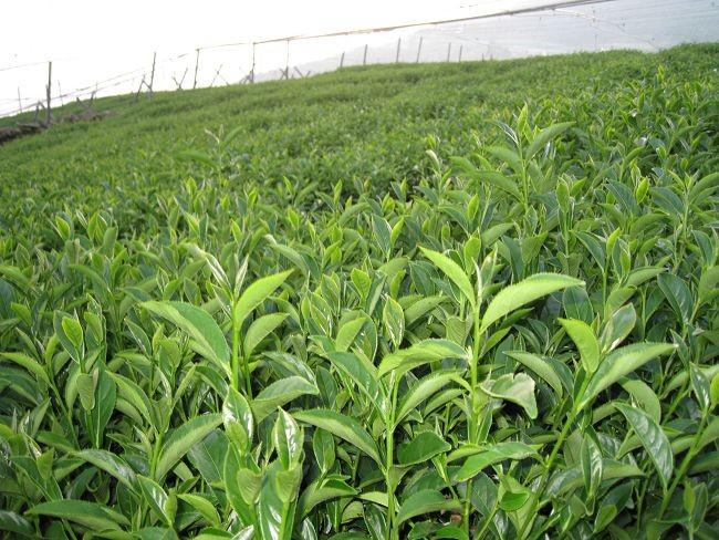 福壽茶|福壽山茶|翠峰茶|天池茶