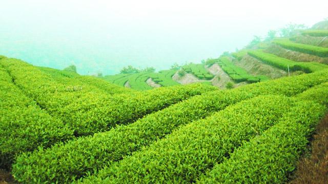 華崗茶|大禹嶺茶包|高山春茶|高山冬茶|福壽茶