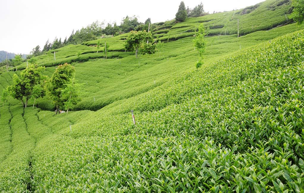 翠峰茶-翠峰茶包-翠峰冬片茶-翠峰茶好茶